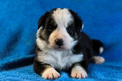 Zwart-wit Border collie-puppy Royalty-vrije Stock Foto