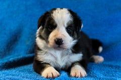 Zwart-wit Border collie-puppy royalty-vrije stock foto