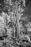 Zwart-wit cactus Royalty-vrije Stock Afbeeldingen