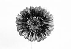 Zwart-wit Daisy Stock Foto