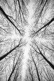 Zwart-wit die bos van bomen worden gefotografeerd van onderaan - de effect samenvatting stock afbeeldingen