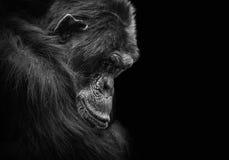 Zwart-wit dierlijk portret van een droevige en gedeprimeerde chimpansee in gevangenschap stock fotografie