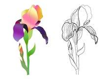 Zwart-wit en kleurrijke iris Stock Fotografie