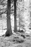 Zwart-wit feehout Stock Afbeelding