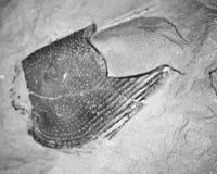 Zwart-wit fossiel Royalty-vrije Stock Afbeelding