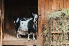 Zwart-wit geit het kauwen hooi royalty-vrije stock afbeelding