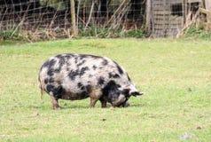 Zwart-wit groot varken royalty-vrije stock foto's