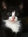 Zwart-wit Katje Royalty-vrije Stock Afbeelding