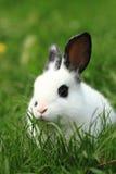 Zwart-wit konijn in het gras Stock Foto