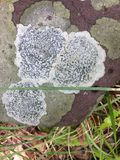 Zwart-wit korstmos in de rots royalty-vrije stock afbeeldingen