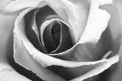 Zwart-wit, mooi, gevoelig nam bloemblaadjes toe stock foto's