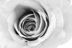 Zwart-wit, mooi, gevoelig nam bloemblaadjes toe royalty-vrije stock afbeelding