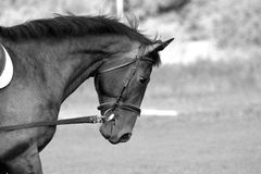 Zwart-wit Paardhoofd Royalty-vrije Stock Foto
