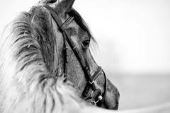 Zwart-wit portret van een sportenhengst Stock Foto