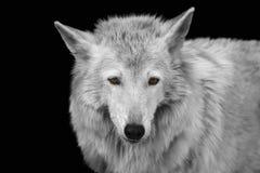 Zwart-wit portret van een wilde boswolf met gele ogen royalty-vrije stock foto