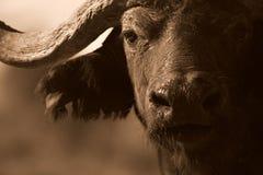 Zwart-wit portret van het gezicht van Buffels Stock Foto's