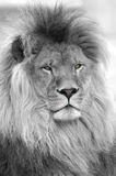 Zwart-wit portret van leeuw Royalty-vrije Stock Afbeeldingen