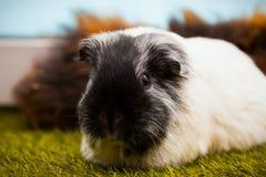 Zwart-wit Proefkonijn stock foto