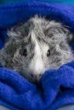 Zwart-wit proefkonijn in handdoek. Stock Foto's