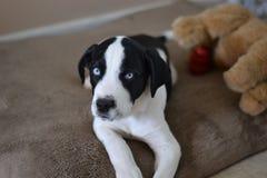Zwart-wit Puppy Stock Afbeeldingen