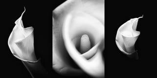 Zwart-wit reeks callas. stock afbeeldingen