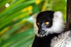 Zwart-wit ruffed maki in een boom wordt neergestreken die Royalty-vrije Stock Foto's