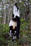 Zwart-wit ruffed maki, Madagascar stock foto's
