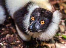 Zwart-wit ruffed maki van Madagascar Stock Afbeelding