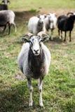 zwart wit schapen voorportret royalty-vrije stock fotografie