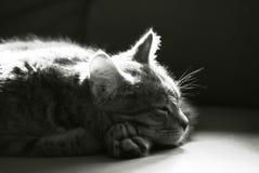 Zwart-wit slaperig katje Royalty-vrije Stock Afbeelding