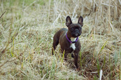 Zwart-wit Terrier in Gras Stock Afbeeldingen