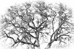 Zwart-wit van een Eiken Boom royalty-vrije stock afbeeldingen