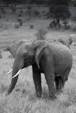 Zwart-wit van een Jonge mannelijke olifant Stock Foto