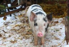 Zwart-wit varken op Russisch landbouwbedrijf Stock Foto's