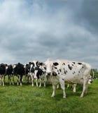 Zwart-wit vee op een gebied Royalty-vrije Stock Afbeelding