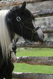 Zwart-wit veulen die uit van achter mammapaard gluren royalty-vrije stock fotografie