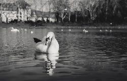 Zwart-wit - Zwanen op de rivier met bezinning in water en hotel op achtergrond in de stad Å¥any van PieÅ ¡ Het verlichte Zwaa royalty-vrije stock afbeelding
