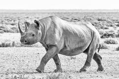 Zwart-wit zwarte die rinoceros met wit calcretestof wordt behandeld, het lopen Stock Afbeeldingen