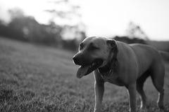 Zwart-witte Amerikaanse Staffordshire Terrier Stock Foto's
