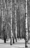 Zwart-witte berken Stock Fotografie