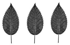 Zwart-witte bladeren Stock Fotografie