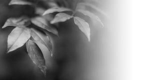 Zwart-witte bladeren in natuurlijk licht Stock Afbeeldingen