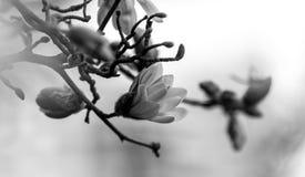 Zwart-witte bloem en bij op de lentetijd royalty-vrije stock afbeelding