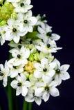 Zwart-witte bloemen, de adem van de baby op de donkere achtergrond Close-up Stock Fotografie
