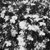 Zwart-witte Bloemtextuur Stock Foto's