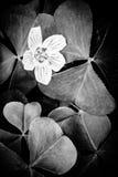 Zwart-witte bosbloemen Stock Foto's