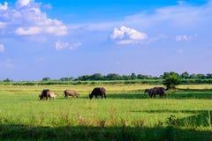 Zwart-witte buffels de kudden weiden op de gebieden royalty-vrije stock foto's