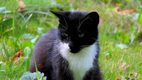 Zwart-witte Cat Relaxing op een Groen Gazon in de Zomer in Langzame Motie stock video