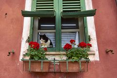 Zwart-witte Cat Sitting On een Groen Uitstekend Shuttered-Venster stock fotografie