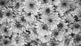 Zwart-witte chrysantenbloemen Royalty-vrije Stock Foto's